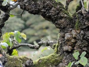 Knorrige, alte Bäume sind für viele Tierarten ein wichtiger Lebensraum, © Alexandra Lehne via Flickr
