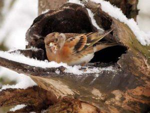 Bergfink als Wintergast, © Ursel Gericke