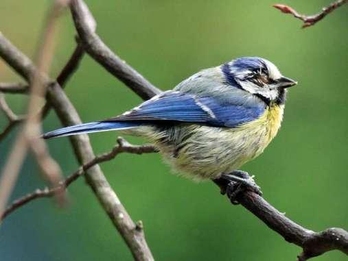 Um genau feststellen zu können, weshalb das Auge eines Vogels entzündet ist, muss er von einem Tierarzt untersucht werden, © Britta Müller