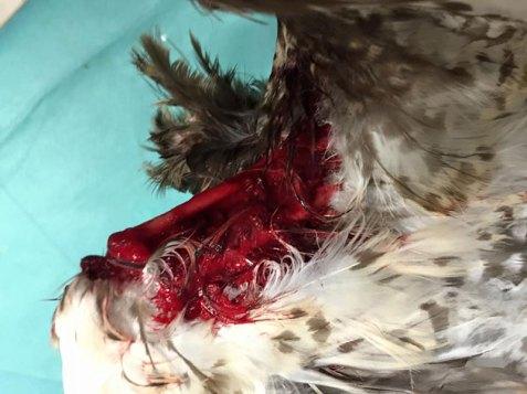 Weil sich dieser Mäusebussard in einem Stacheldrahtzaun verfangen und zu befreien versucht hat, hat er sich selbst großflächig Teile seiner Haut am Flügel abgerissen, die Knochen liegen frei, © Bergische Greifvogelhilfe