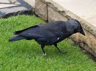 Dohle (Corvus monedula), © Ewald Ferlemann