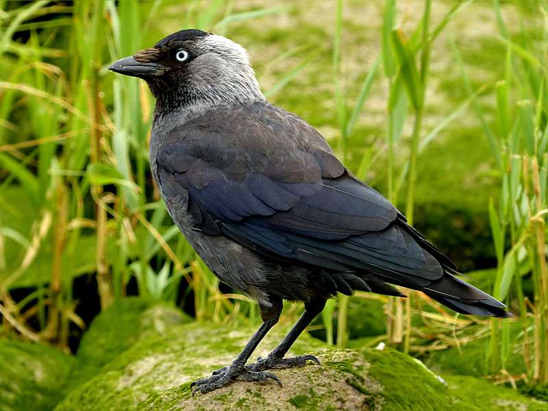 Dohle (Corvus monedula), © Oldiefan / Pixabay