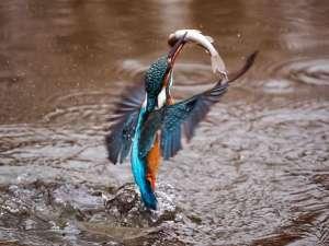 Dieser Eisvogel hat erfolgreich Beute gemacht, © Bergadder / Pixabay