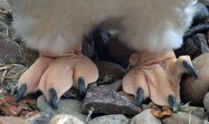 Die Füße eines Eselspinguins (Pygoscelis papua), © Bruce McAdam via Wikipedia