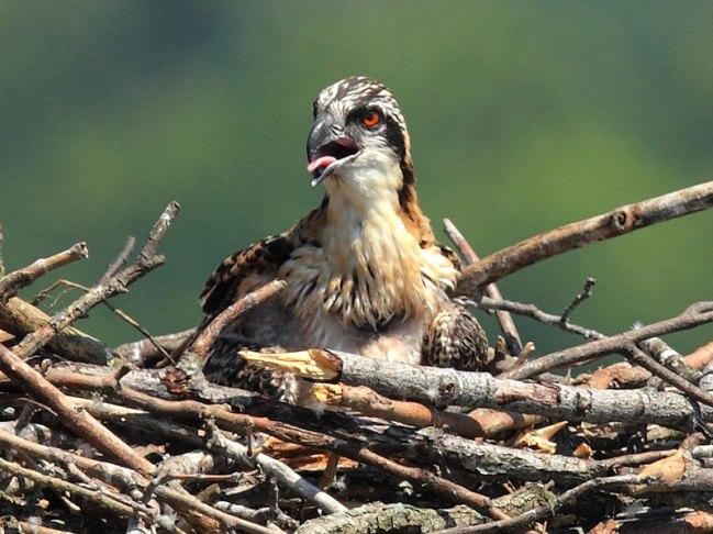 Junger Fischadler, © Mr.TinDC via Flickr