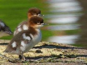 Jeunes harles bièvre, © Stefan Berndtsson via Flickr