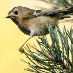 Erwachsenes Wintergoldhähnchen, © Hanna Knutsson via Flickr