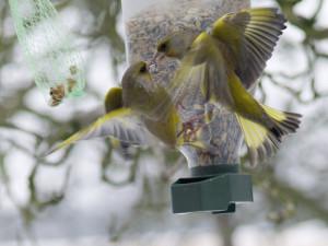 Grünfinken streiten an einem Futtersilo, © uschi dreiucker / Pixelio.de