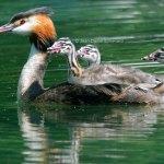 Haubentaucher-Familie, © Jean-Daniel Echenard via Flickr