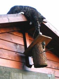 Diese Hauskatze versucht, an einen Nistkasten und die darin befindlichen Vögel zu gelangen, © Schleifchen007 / Pixelio.de