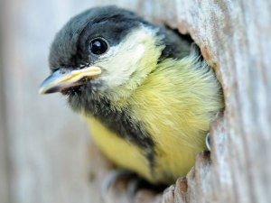 Werden Jungtiere wie diese junge Kohlmeise von ihren Eltern mit Insekten gefüttert, die mit Pestiziden vergiftet wurden, überleben die Vogelküken dies oft nicht und auch viele Altvögel sterben unter Qualen infolge von Vergiftungen, © Frans Persoon via Flickr