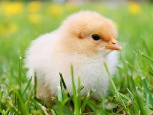 Zu Ostern sollte man keine lebenden Tiere und erst recht keine Küken verschenken, © 25891 / Pixabay