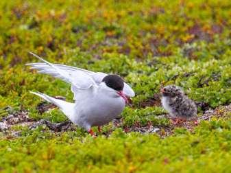 Jeune sterne arctique avec un oiseau adulte, © Andreas Trepte/www.photo-natur.de