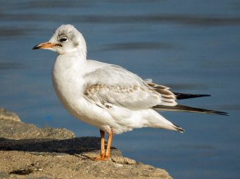 Mouette rieuse juvénile, © Will Pollard via Flickr