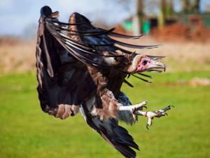 Vor der Landung strecken Geier ihre Beine aus und winkeln die Flügel an, © Neil Howard via Flickr