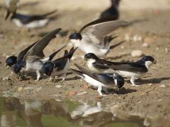 Mehlschwalben (Delichon urbica) beim Sammeln von Nistmaterial, © Gaby Schulemann-Maier