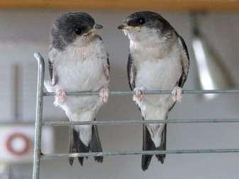 Zwei jugendliche Mehlschwalben, © Dagmar Offermann