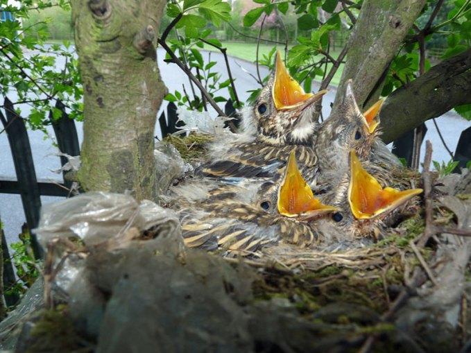 Jeunes grives draines dans le nid, © Nottsexminer via Flickr