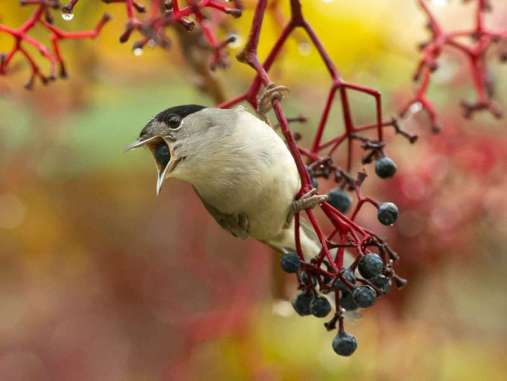 Männliche Mönchsgrasmücke (Sylvia atricapilla), © Georges & Benjamin Bruny via Flickr