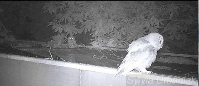 Was treiben die auszuwildernden Pfleglinge nachts? Spezialisierte Auffangstationen überprüfen dies mit Nachtsichtkameras, © Greifvogelhilfe.de