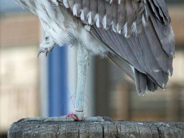 In einer Angelschnur hat sich dieser Reiher mit den Füßen verfangen, © Ingrid Taylar via Flickr