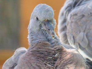 Pigeon ramier juvénile, © Mason Taylor/Simon Taylor via Flickr