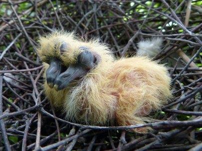 Jeunes pigeons ramiers dans le nid, © Nottsexminer via Flickr