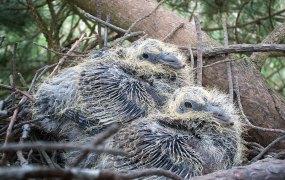 Junge Ringeltauben im Nest, © Nottsexminer via Flickr