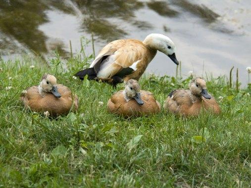 Jeunes tadornes casarcas avec un oiseau adulte (derrière), © Sergey Yeliseev via Flickr