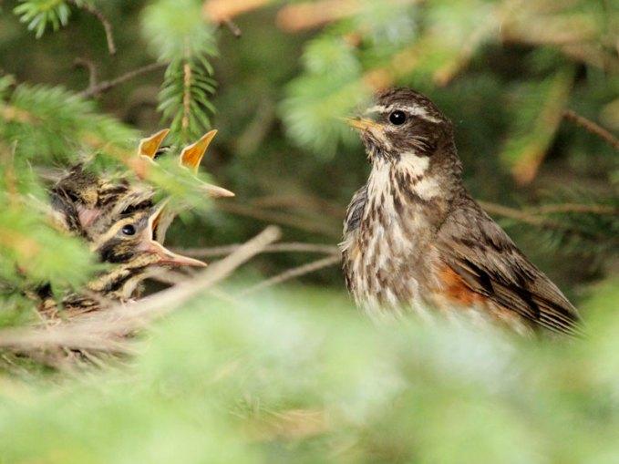 Erwachsene Rotdrossel an ihrem Nest, in dem Nachwuchs sitzt, © Tanja Weise