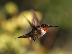 Männlicher Rubinkehlkolibri (Archilochus colubris), © Jamie Chavez via Flickr