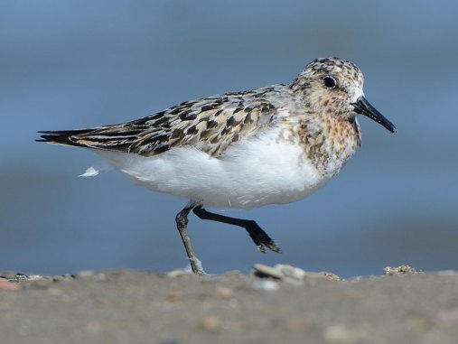 Erwachsener Sanderling, © Dave Inman via Flickr