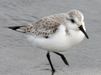 Erwachsener Sanderling, © David A. Hofmann via Flickr