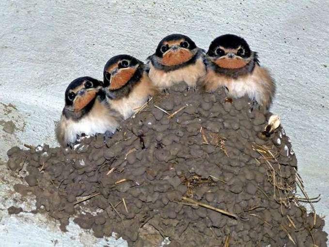Rauchschwalben im Nest, © eismannhans / Pixabay