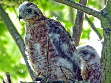 Junge Sperber im Nest, © Nottsexminer via Flickr