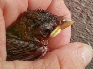 Bei diesem Jungvogel ist der Oberschnabel zu kurz, was oft infolge einer Unterversorgung mit Nährstoffen auftreten kann. © Anna Schroh