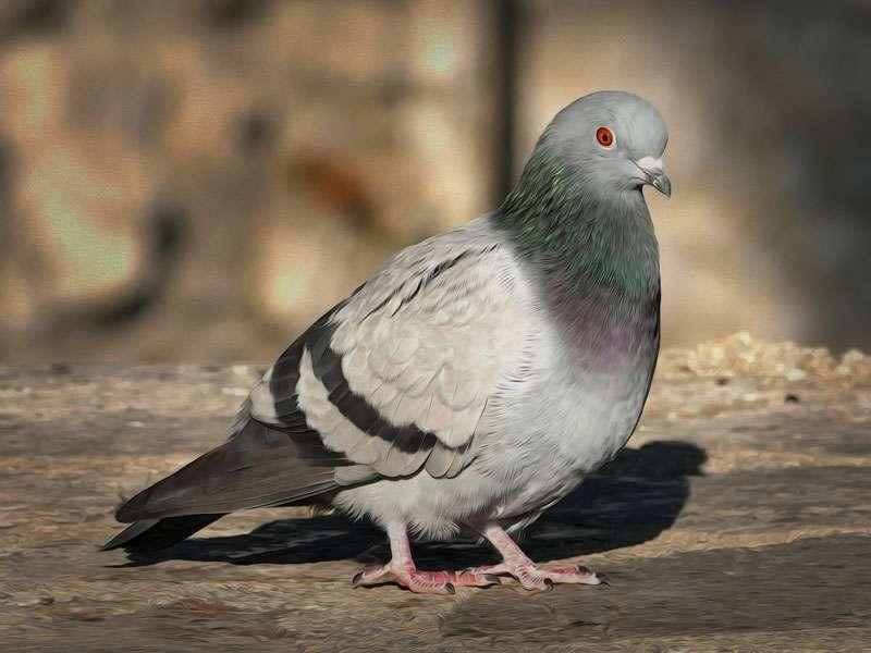 Beim Laufen wackeln Tauben permanent mit dem Kopf, um ihre Umgebung scharf sehen zukönnen, © Alois_Wonaschuetz / Pixabay