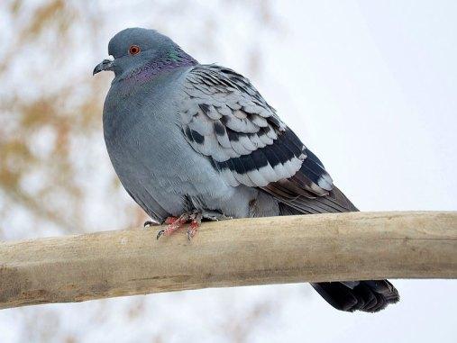 Pigeon biset féral adulte, © GLady / Pixabay
