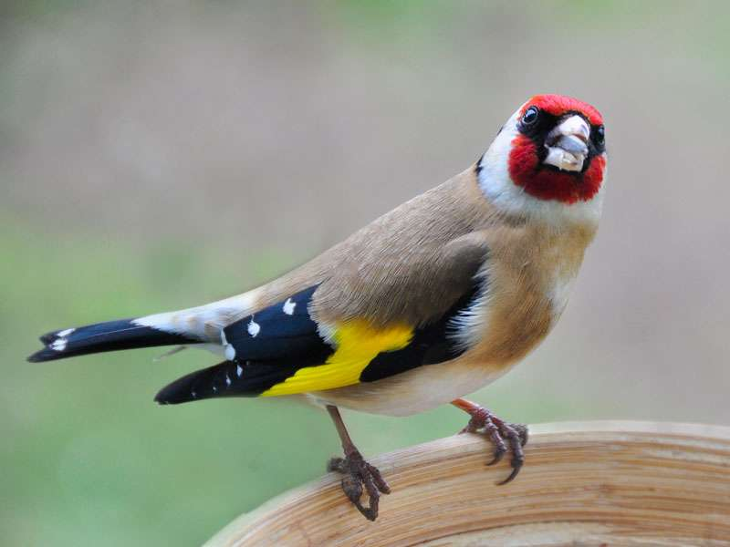 Stieglitz (Carduelis carduelis), © keith ellwood via Flickr