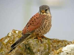 Turmfalken (Falco tinnunculus) sind Standvögel und verweilen somit das gesamte Jahr über in derselben Gegend, © Paul Roberts via Flickr
