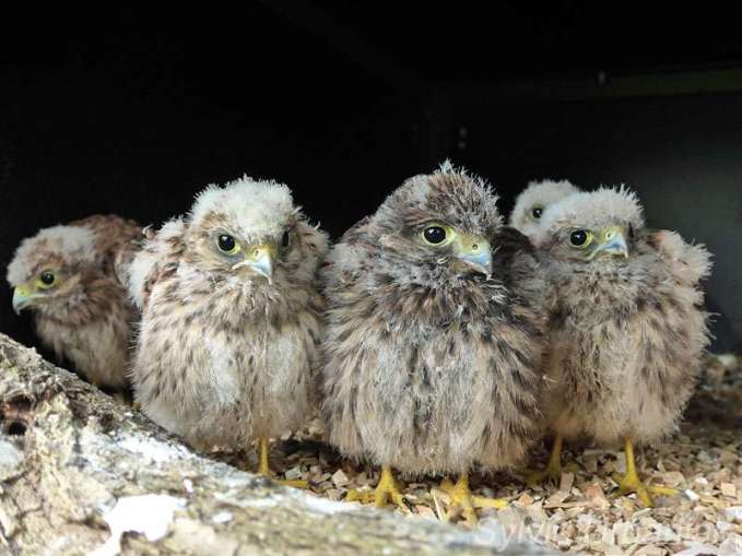 Junge Turmfalken dürfen nicht allein großgezogen werden, © Greifvogelhilfe.de
