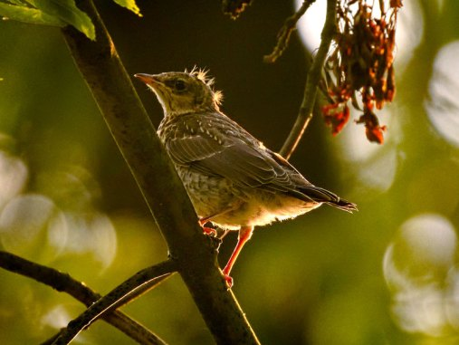Jeune grive litorne, © hedera.baltica via Flickr