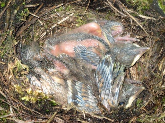 Jeunes grives litornes dans le nid, © serena / Pixelio.de