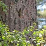 Waldbaumläufer (Certhia familiaris), © Gaby Schulemann-Maier