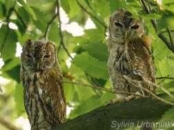 Waldkauz-Ästlinge während der Auswilderung, © Greifvogelhilfe.de