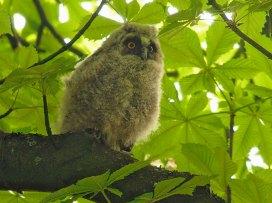 Junge Waldohreule, © Frank Vassen via Flickr