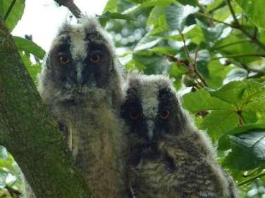Jeunes hiboux moyen-ducs, © Hermann Bonn