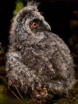 Junge Waldohreule, © Ville Misaki via Flickr