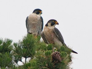 Die Wanderfalken (Falco peregrinus) wären in Deutschland vor einigen Jahrzehnten infolge der negativen Einflüsse von Pestiziden beinahe ausgestorben, © Jamie Chavez via Flickr