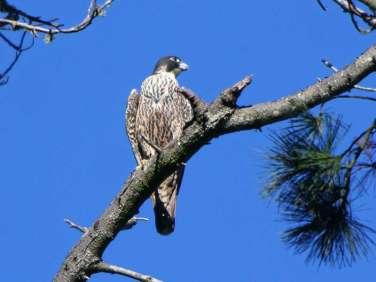 Wanderfalke (Falco peregrinus), © Jamie Chavez via Flickr
